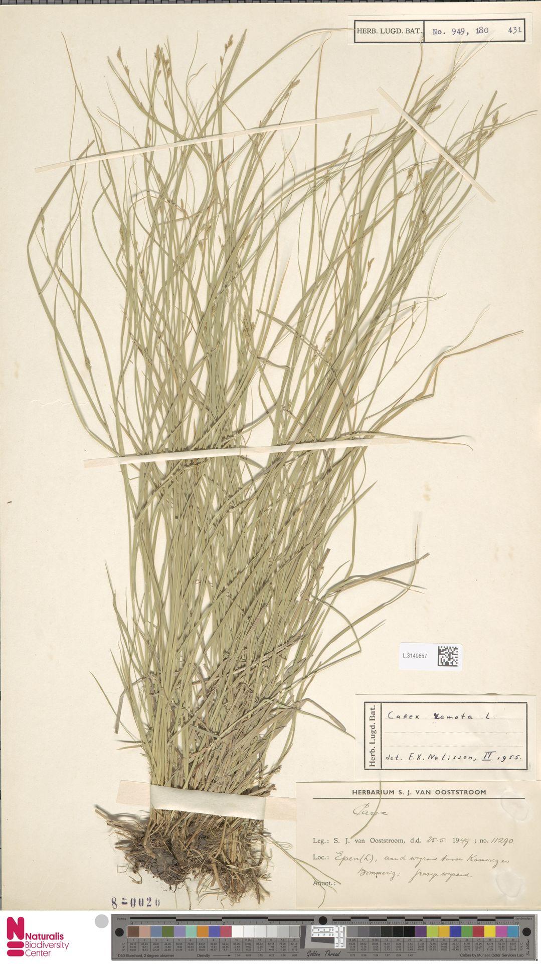 L.3140657 | Carex remota L.