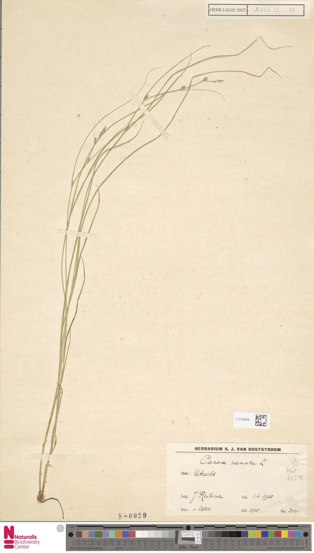 L.3140659 | Carex remota L.
