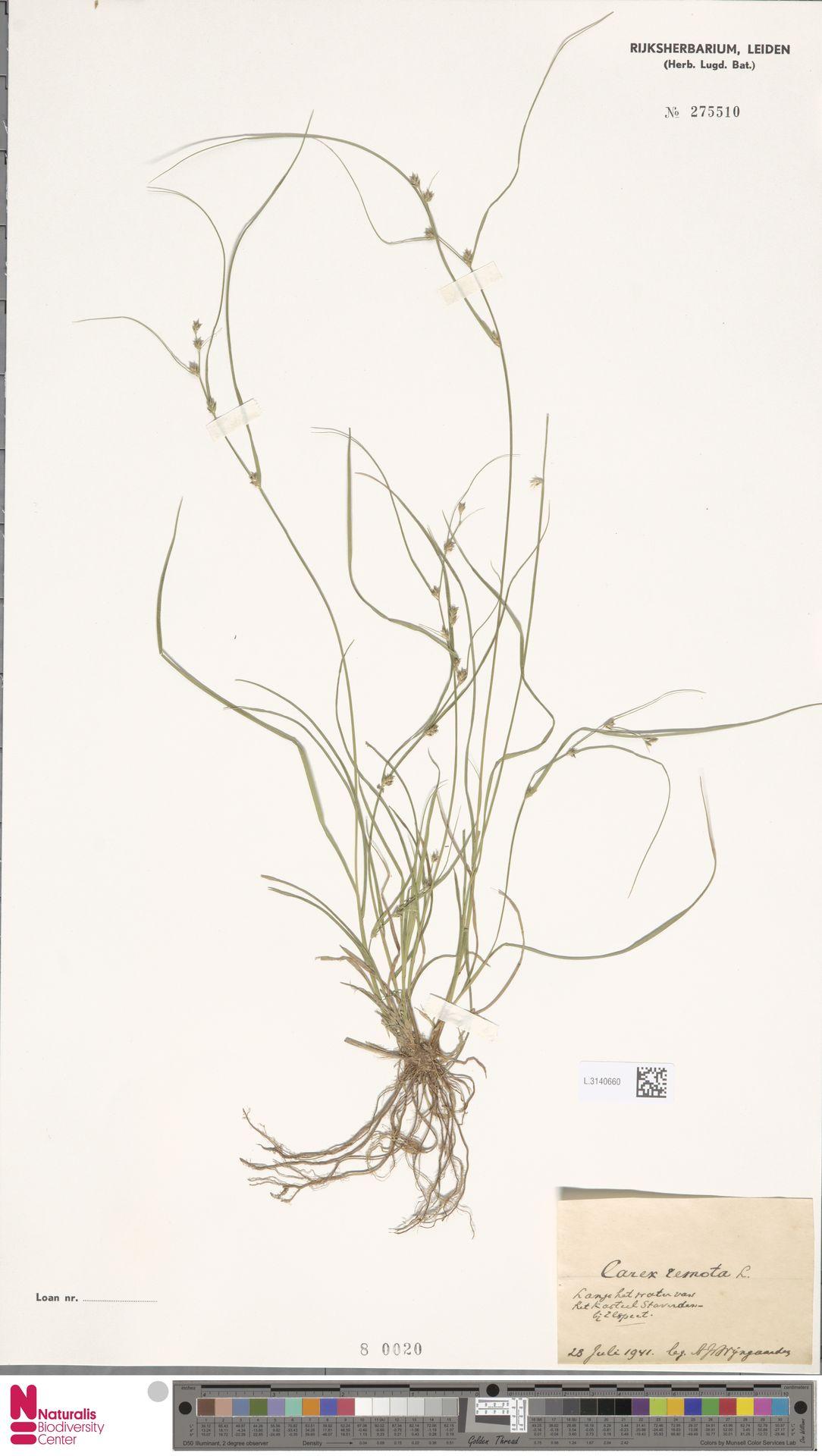 L.3140660 | Carex remota L.