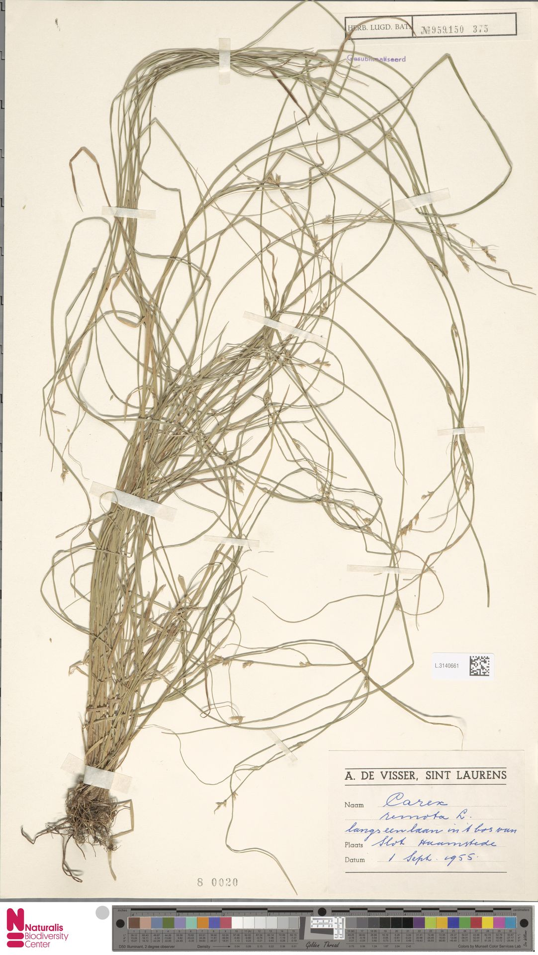 L.3140661   Carex remota L.