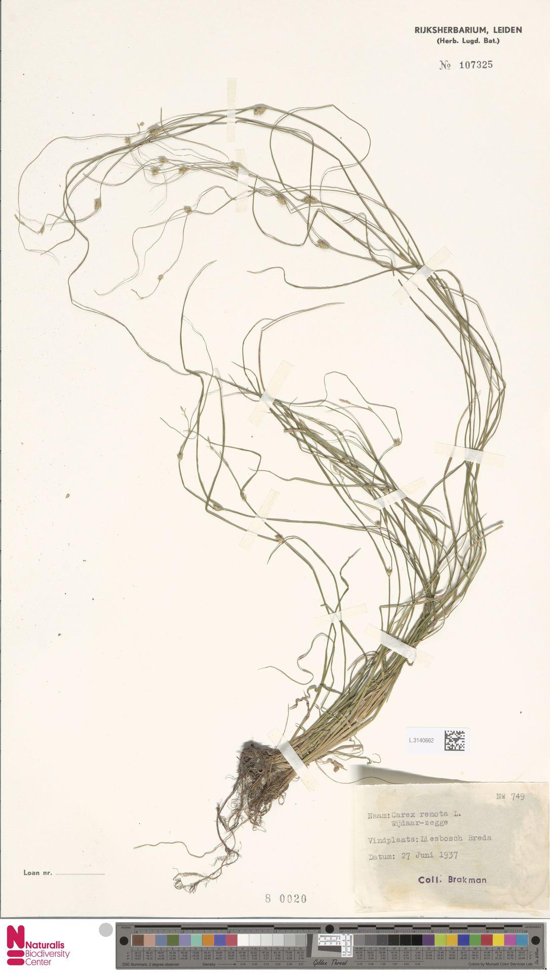 L.3140662 | Carex remota L.