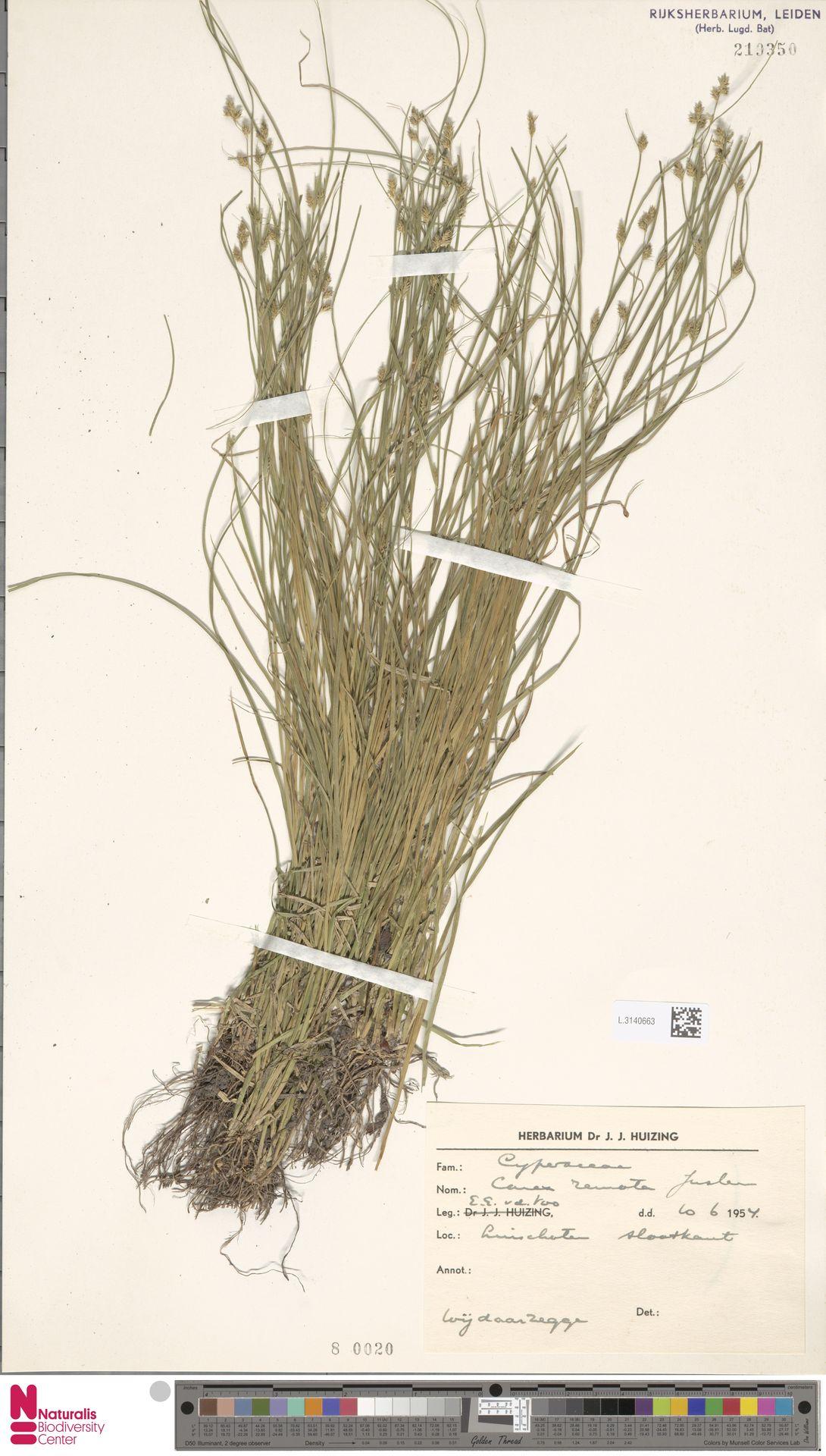 L.3140663 | Carex remota L.