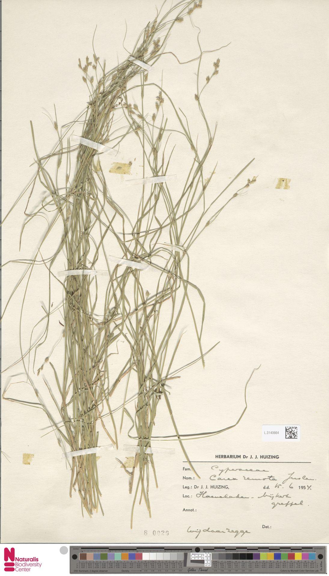 L.3140664 | Carex remota L.