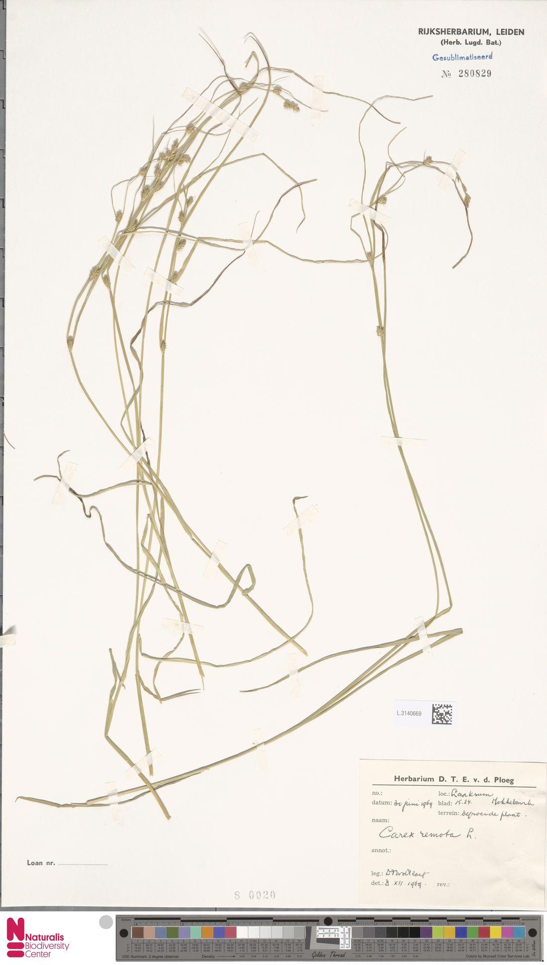 L.3140669 | Carex remota L.