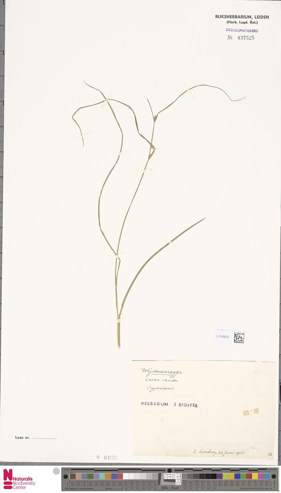 L.3140675 | Carex remota L.