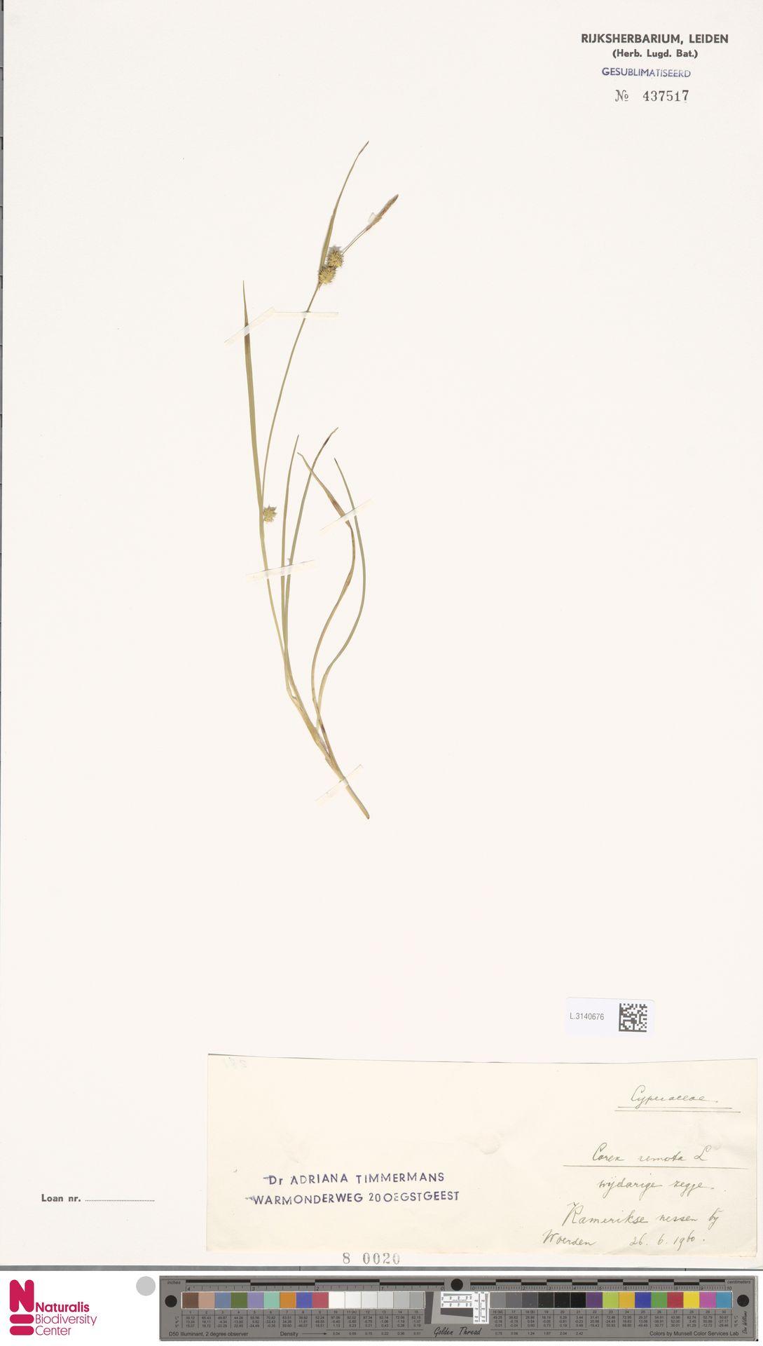 L.3140676 | Carex remota L.