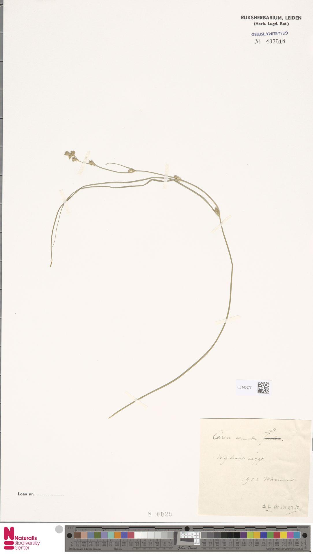 L.3140677 | Carex remota L.