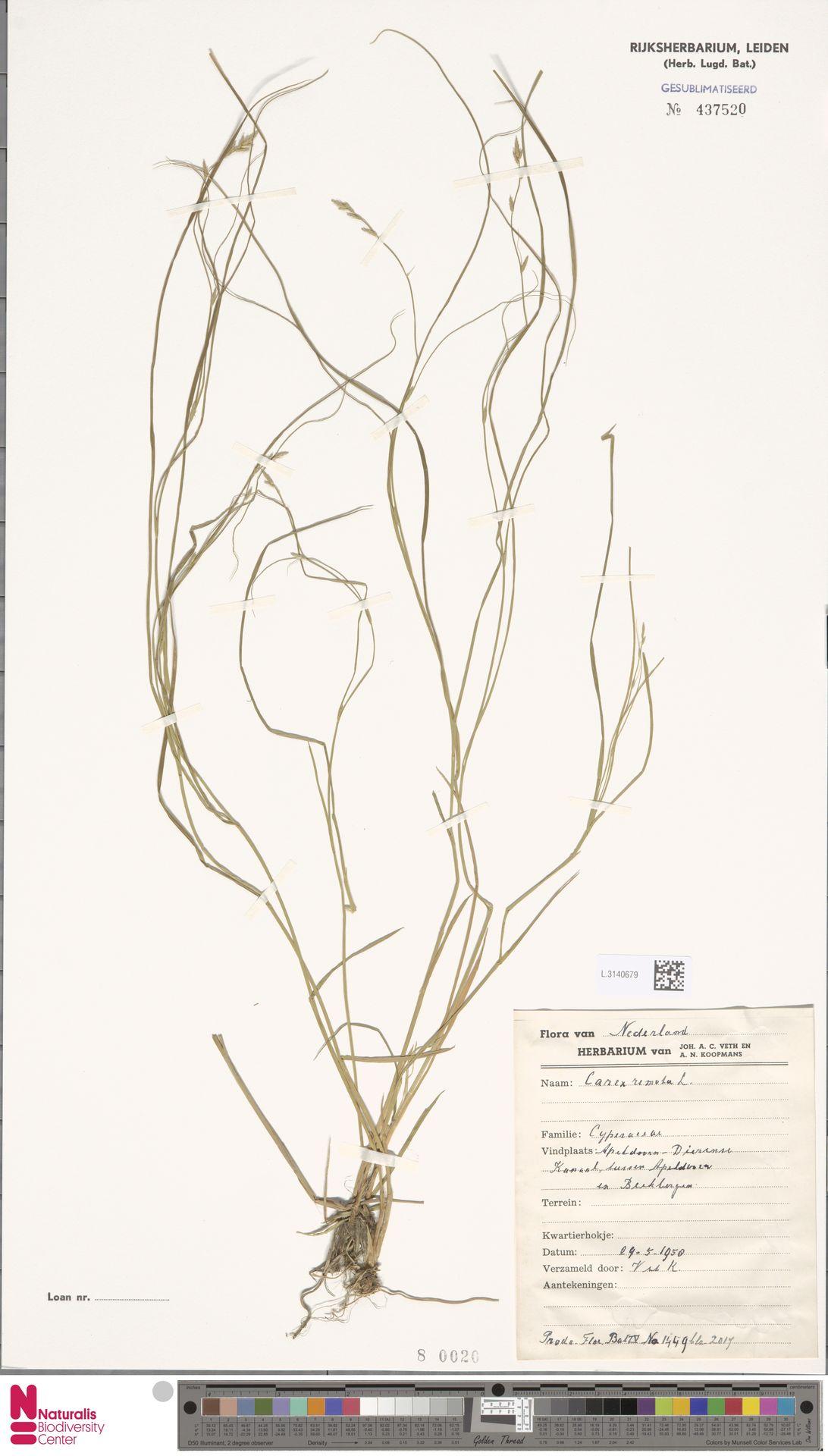L.3140679 | Carex remota L.