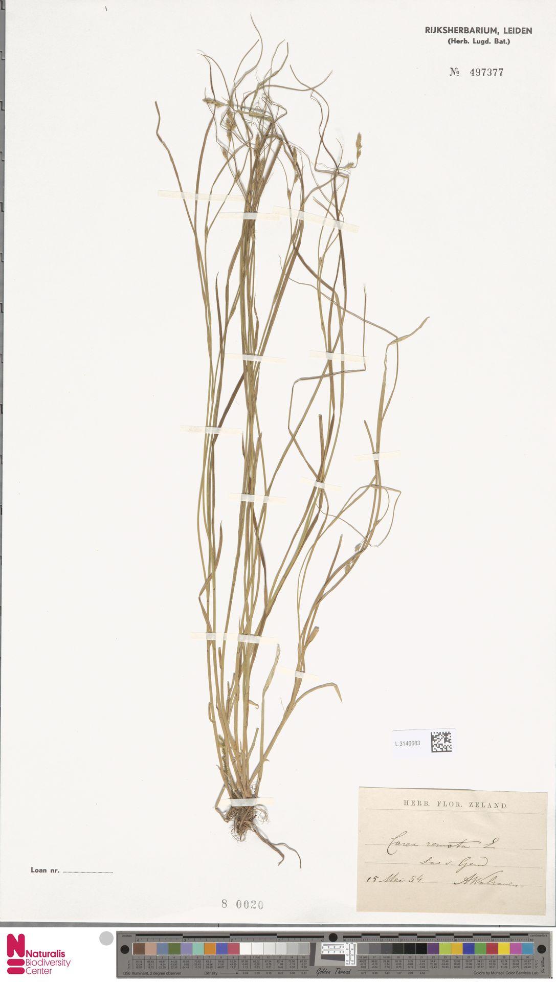 L.3140683 | Carex remota L.