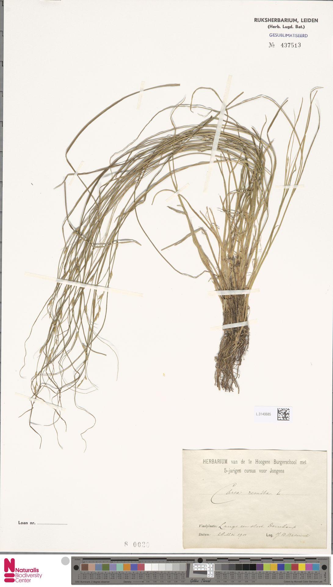 L.3140685 | Carex remota L.