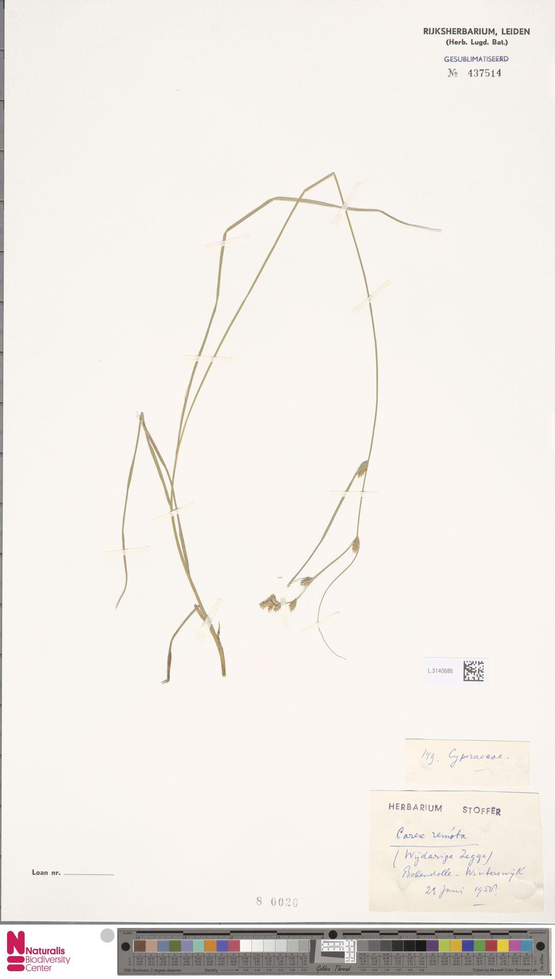 L.3140686 | Carex remota L.