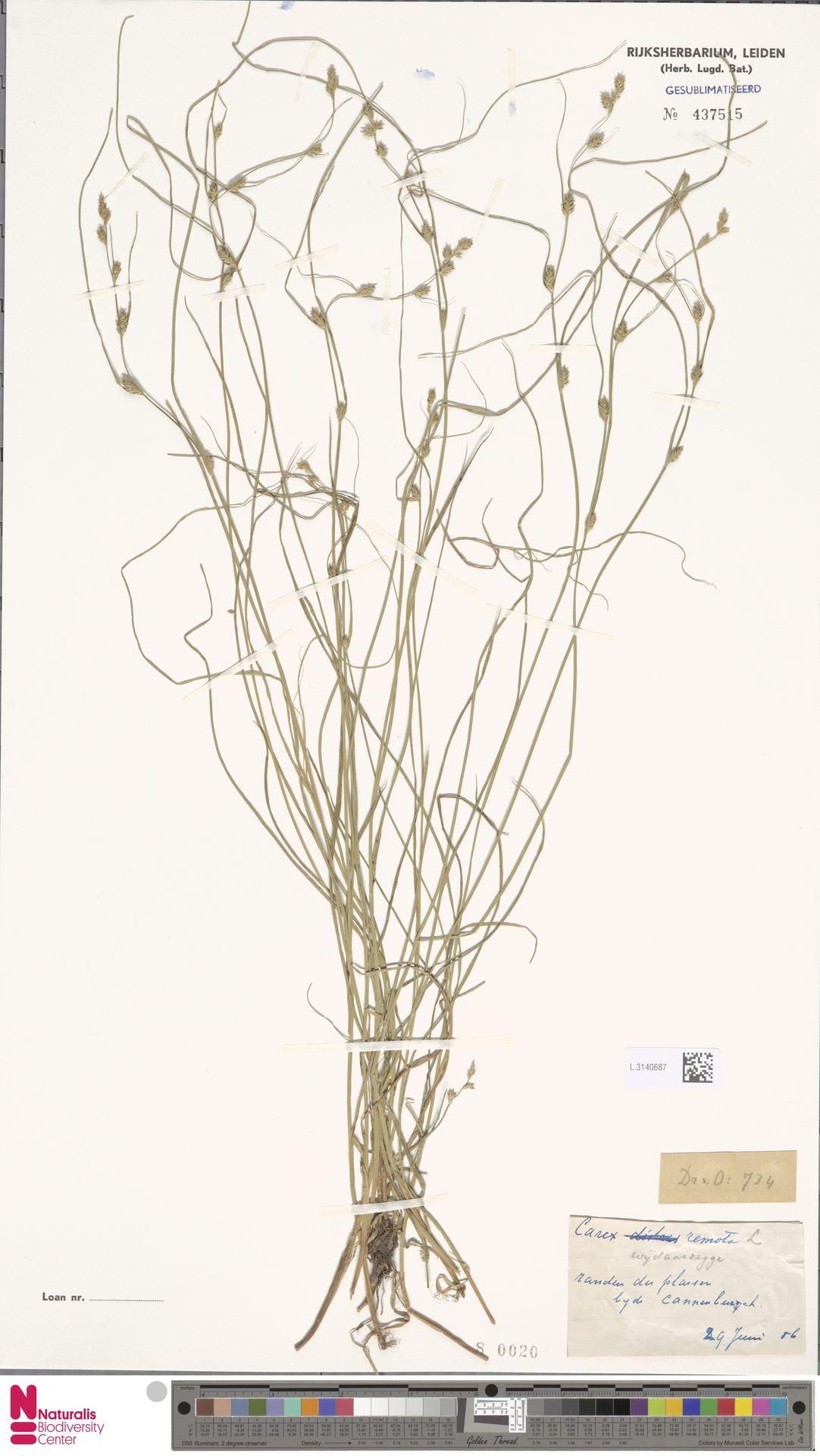 L.3140687 | Carex remota L.