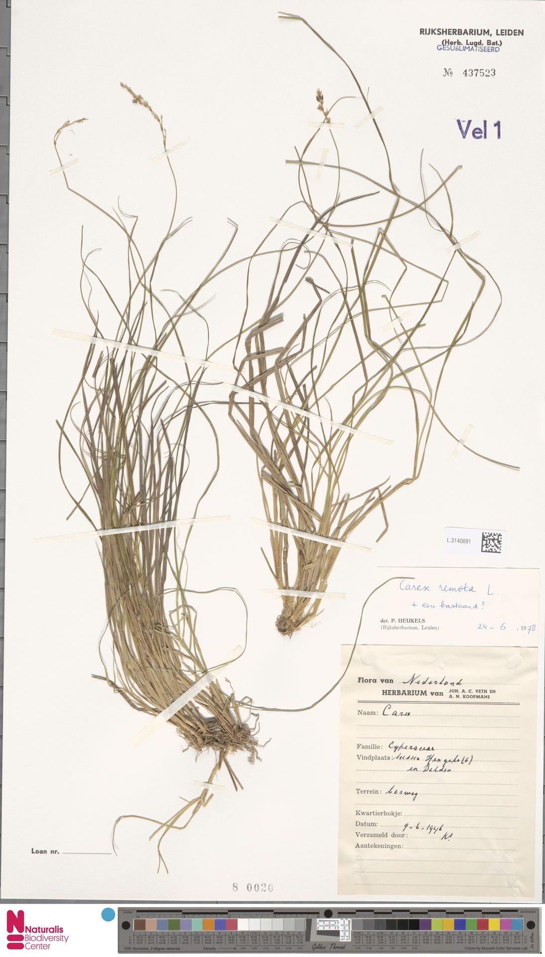 L.3140691 | Carex remota L.