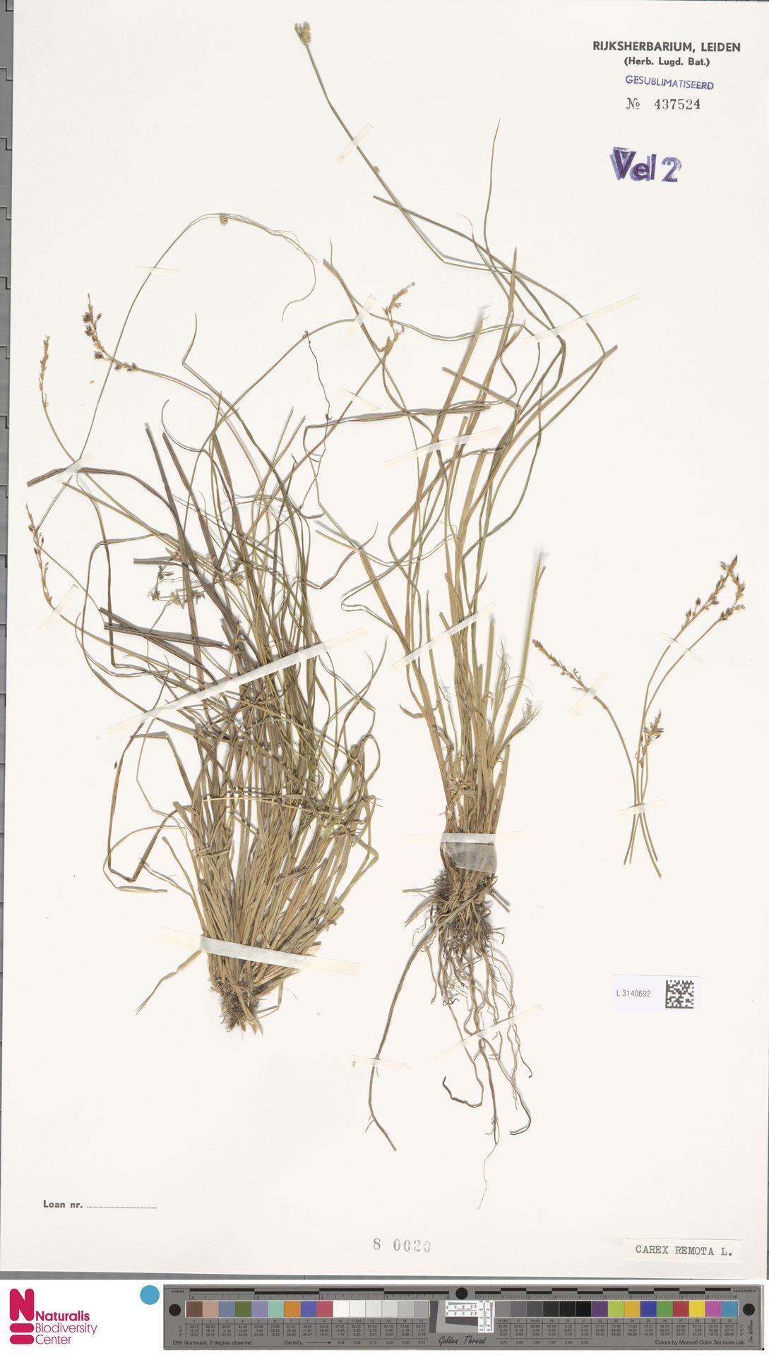 L.3140692 | Carex remota L.