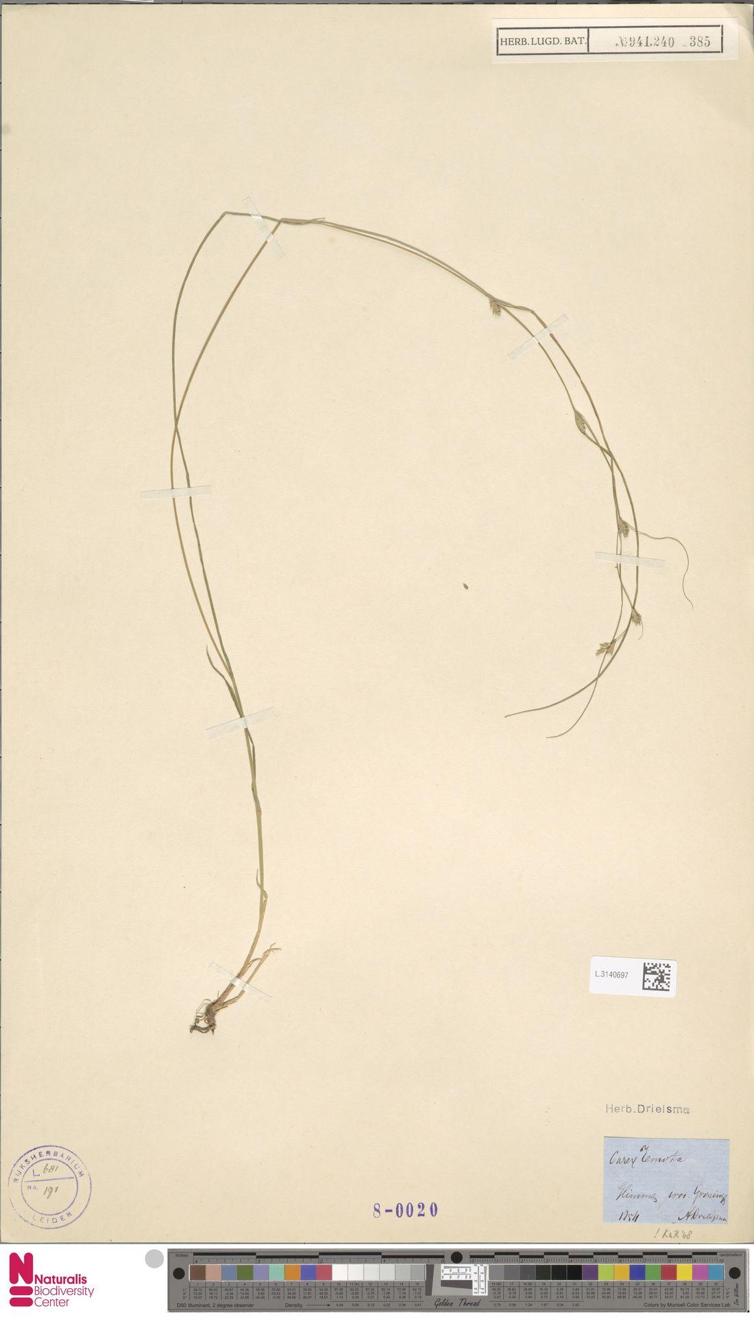 L.3140697 | Carex remota L.