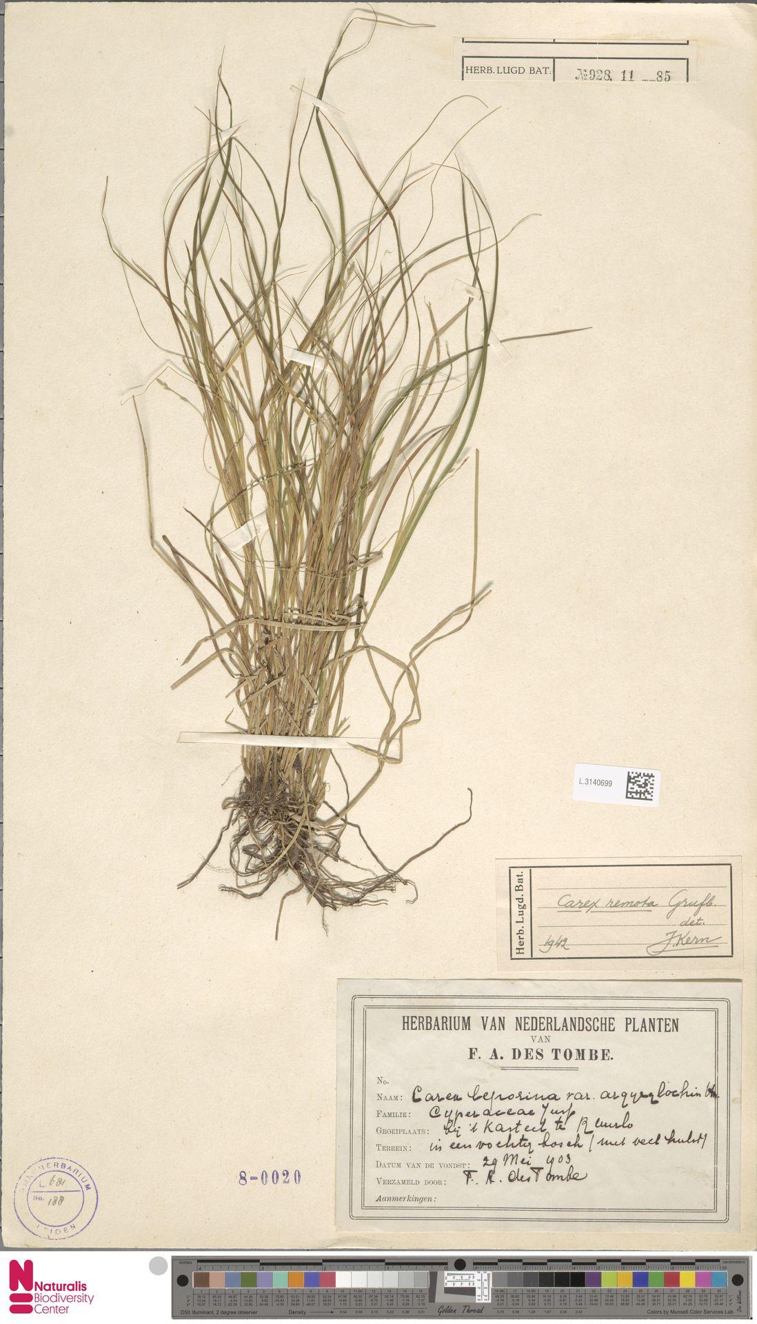 L.3140699 | Carex remota L.