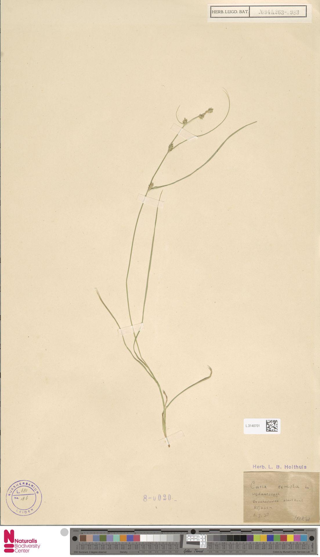 L.3140701   Carex remota L.