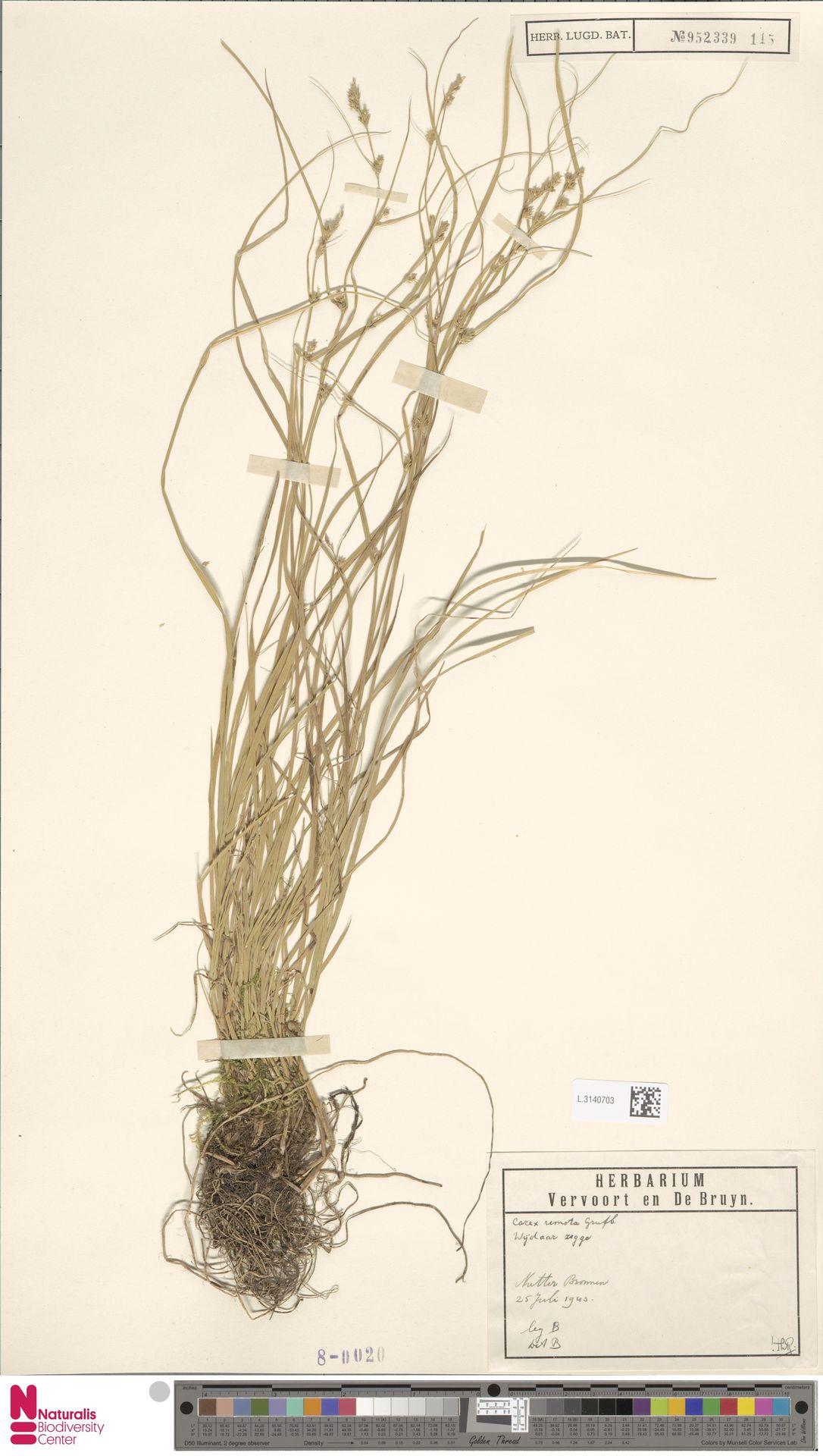 L.3140703 | Carex remota L.