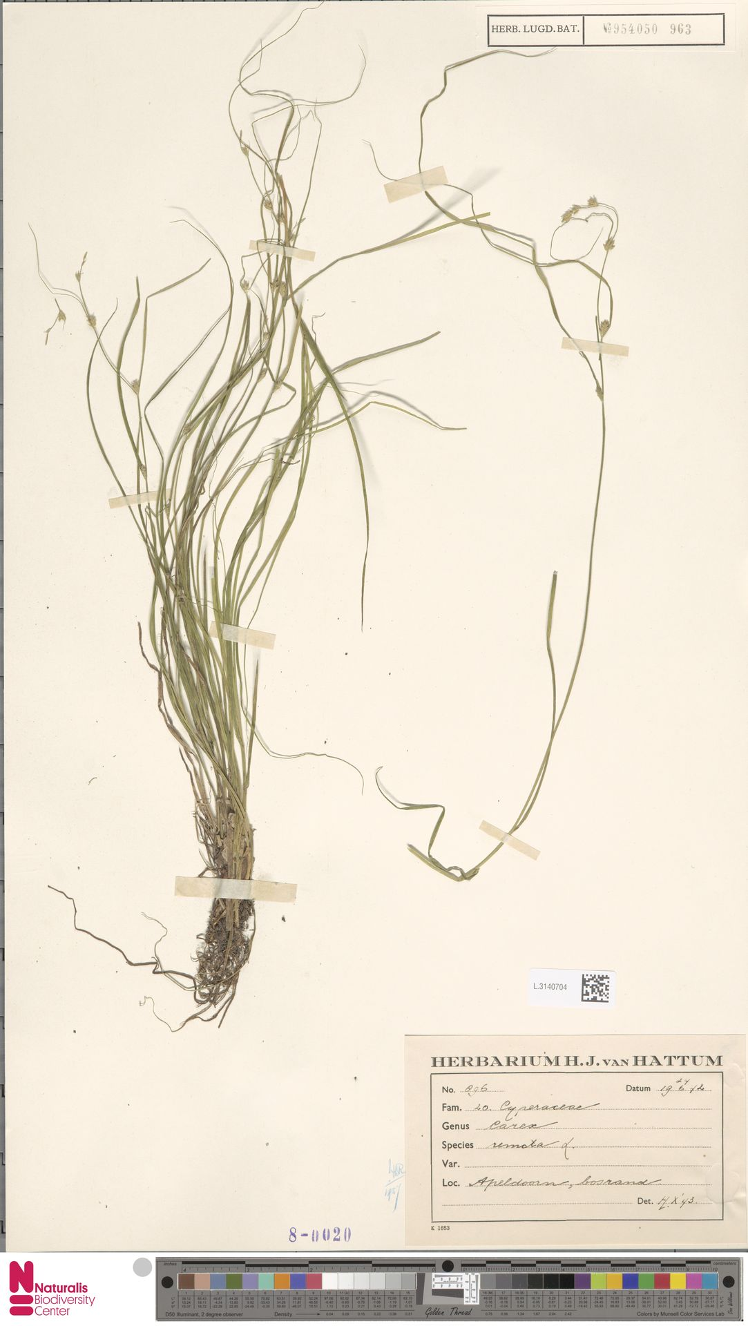 L.3140704 | Carex remota L.