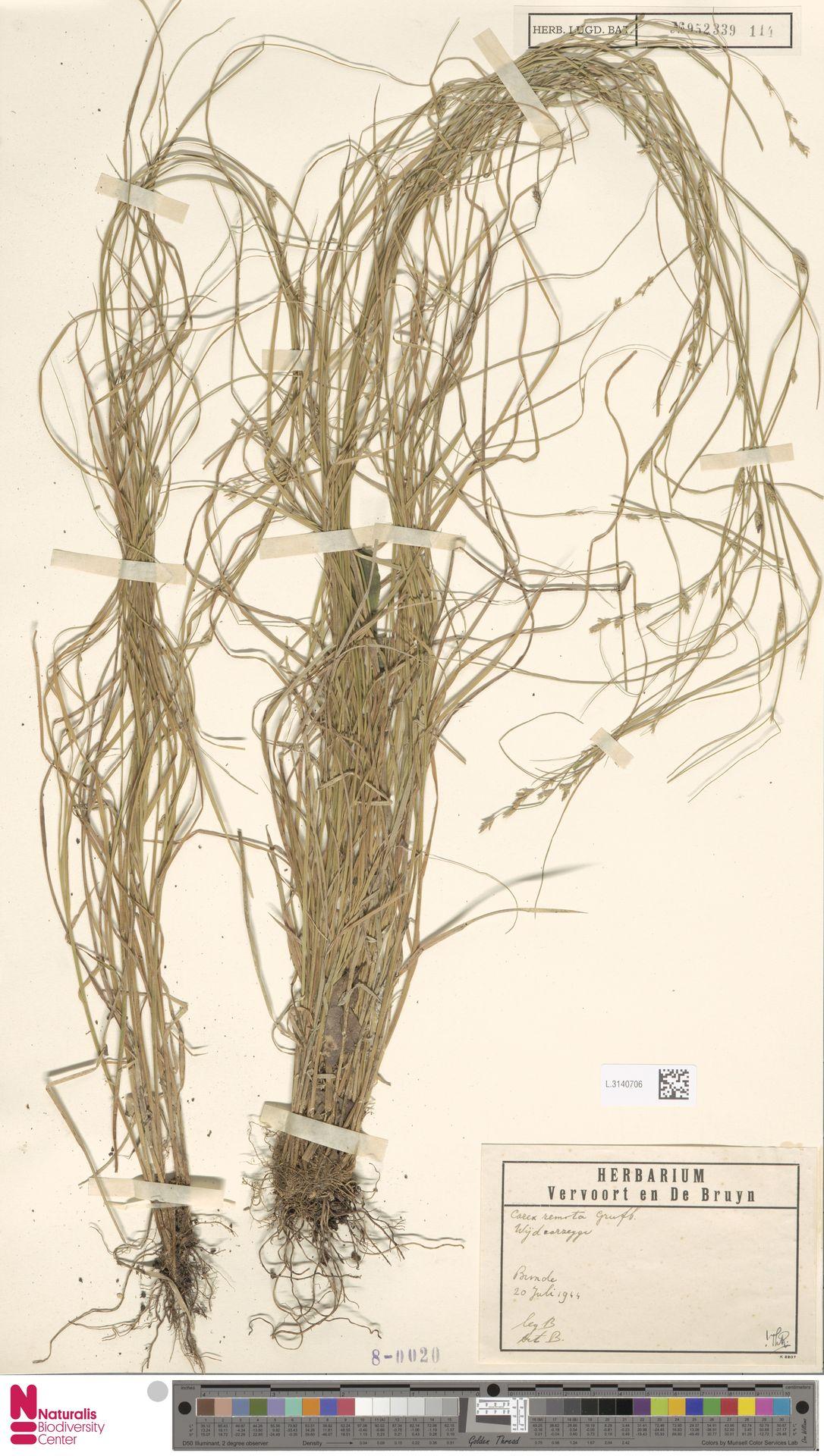 L.3140706 | Carex remota L.