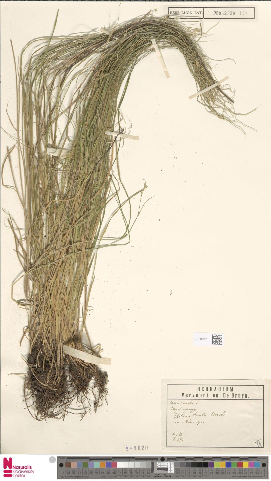 L.3140707 | Carex remota L.