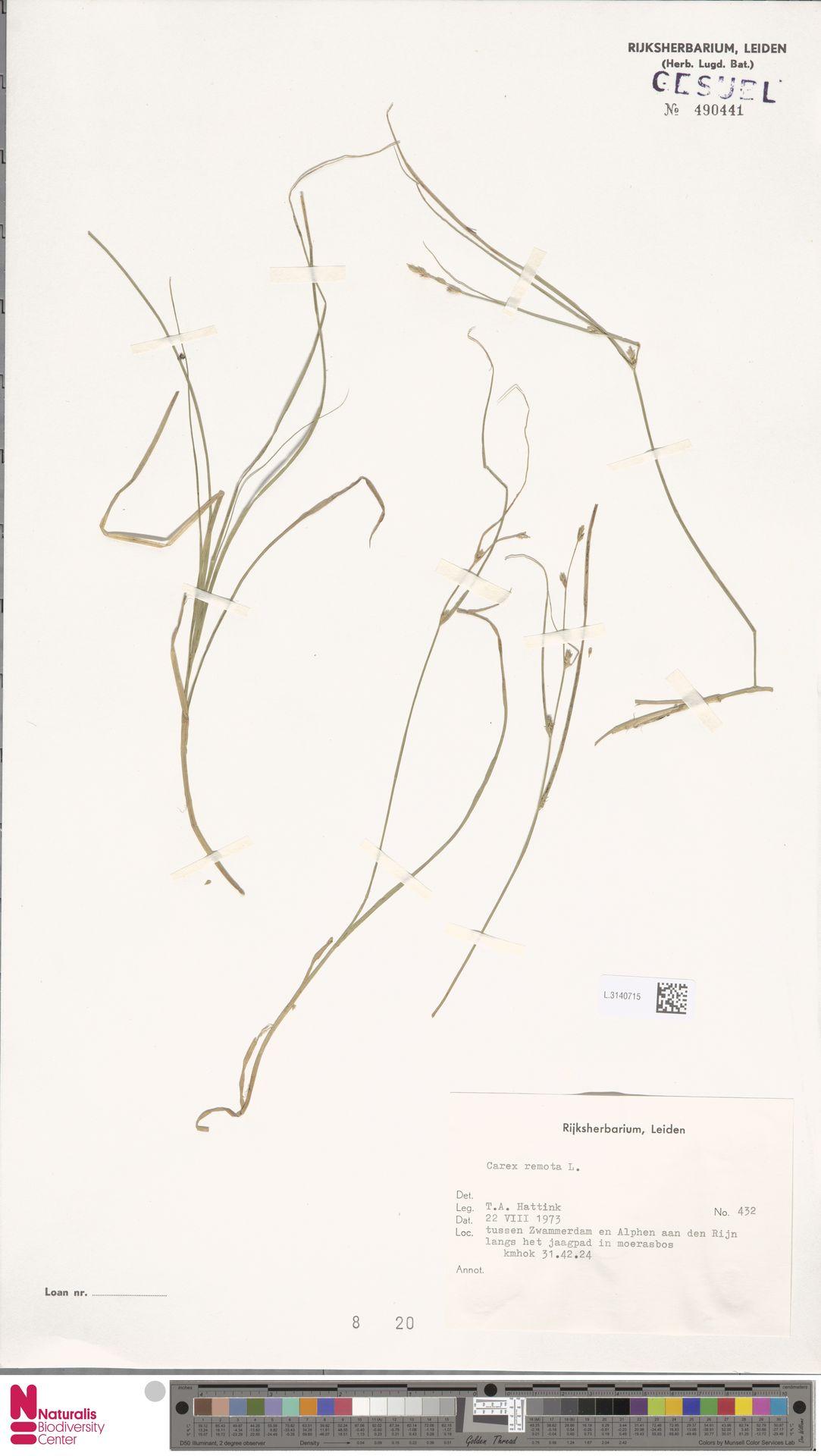 L.3140715 | Carex remota L.