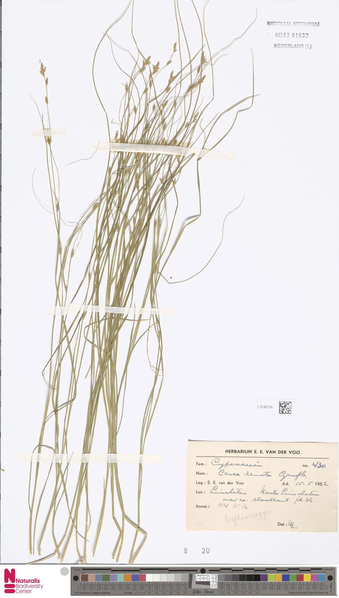 L.3140716   Carex remota L.