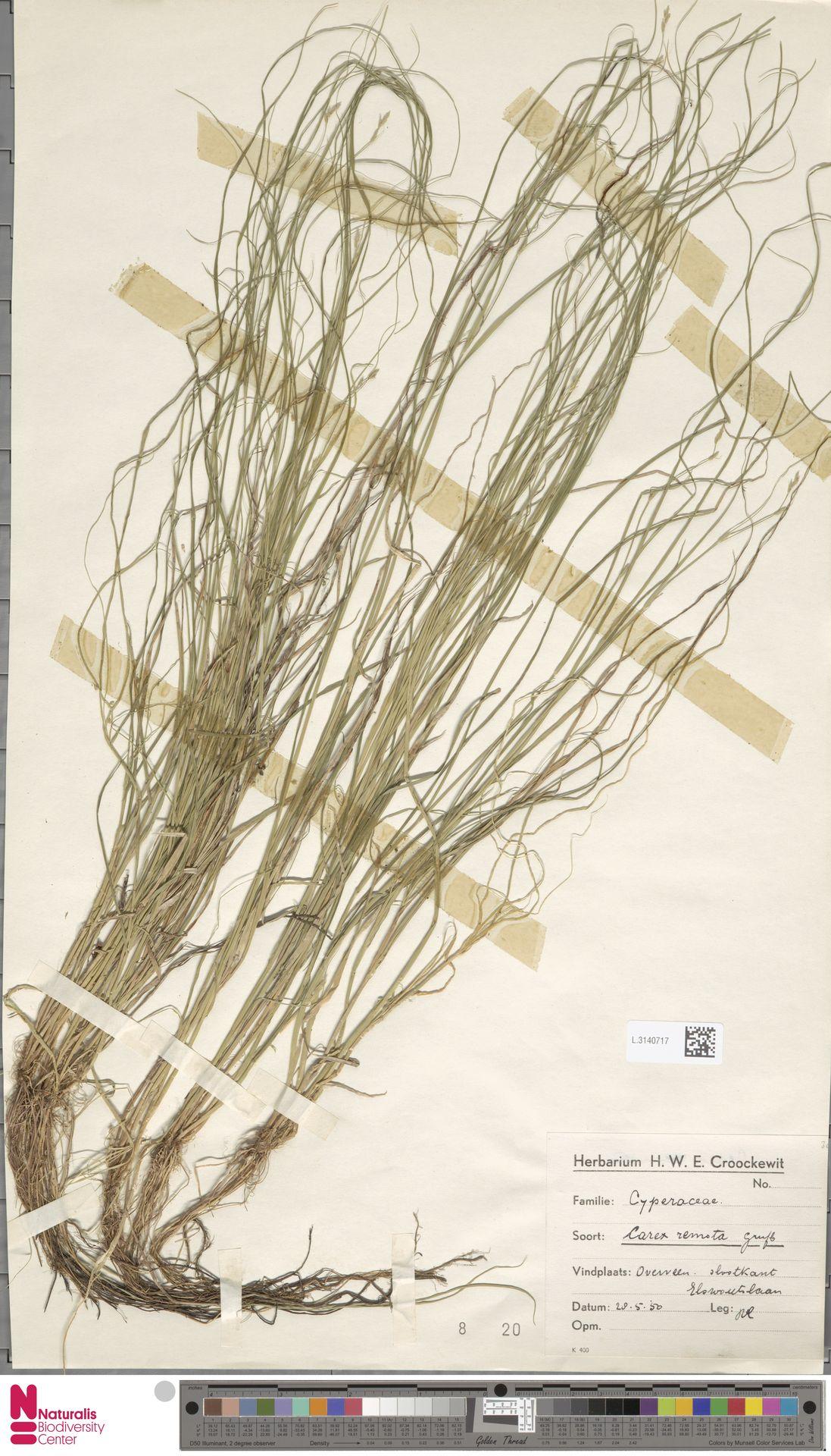 L.3140717 | Carex remota L.