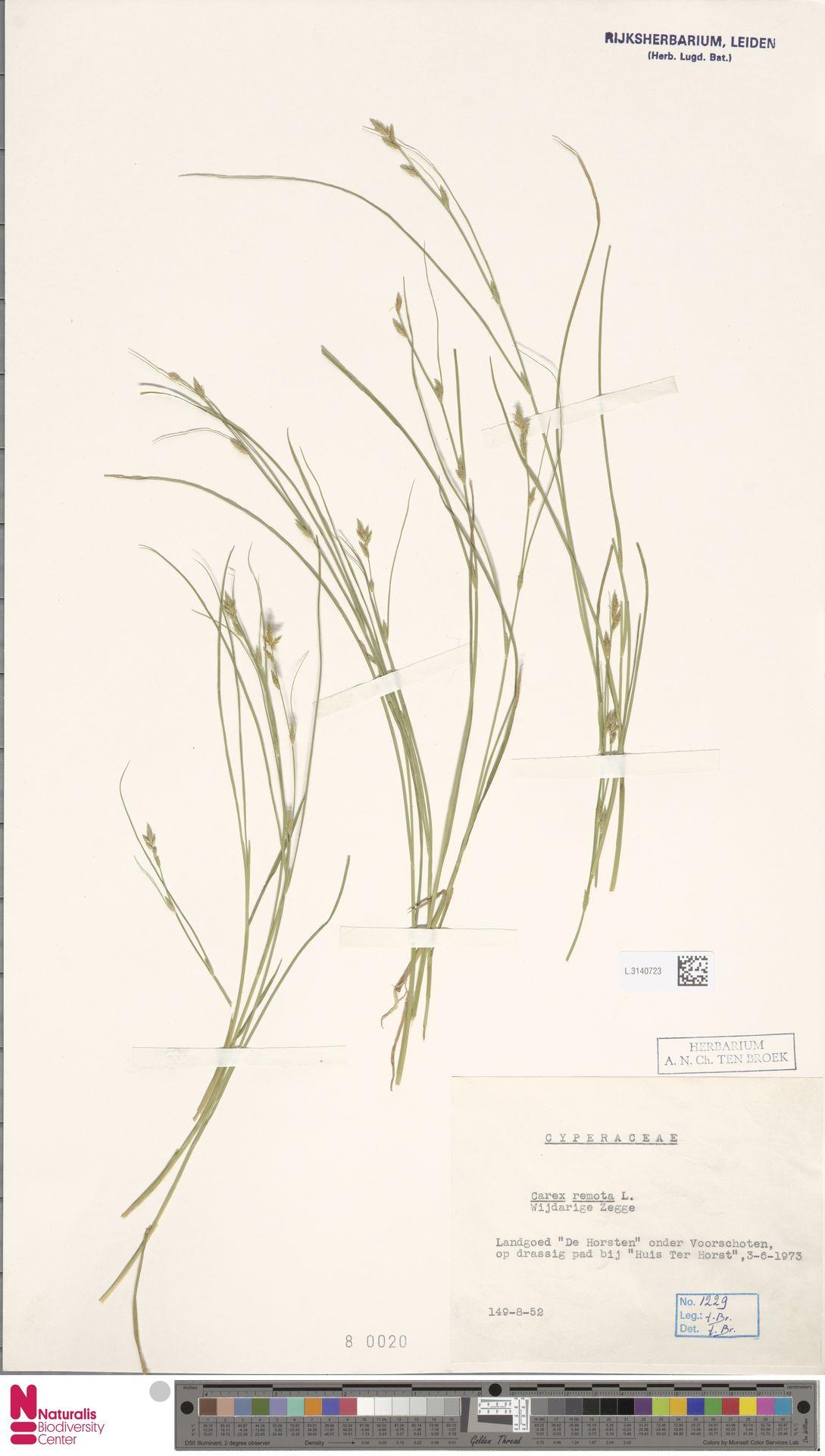 L.3140723   Carex remota L.
