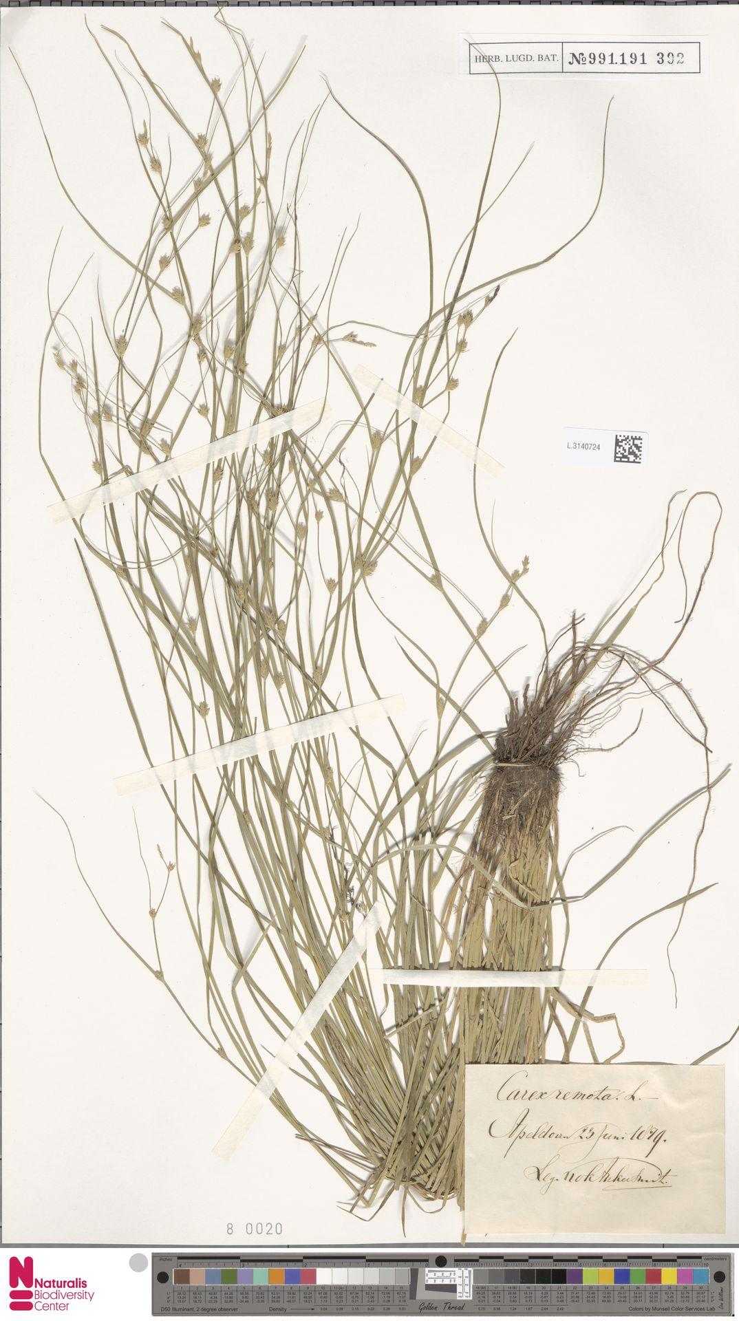 L.3140724 | Carex remota L.