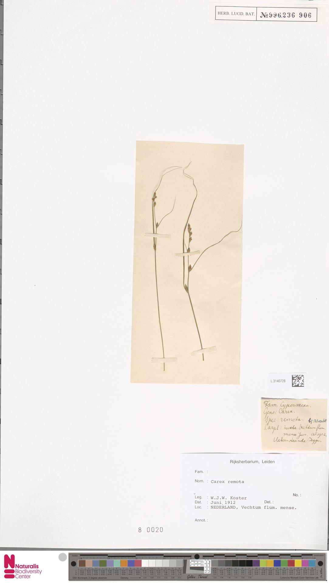 L.3140728 | Carex remota L.