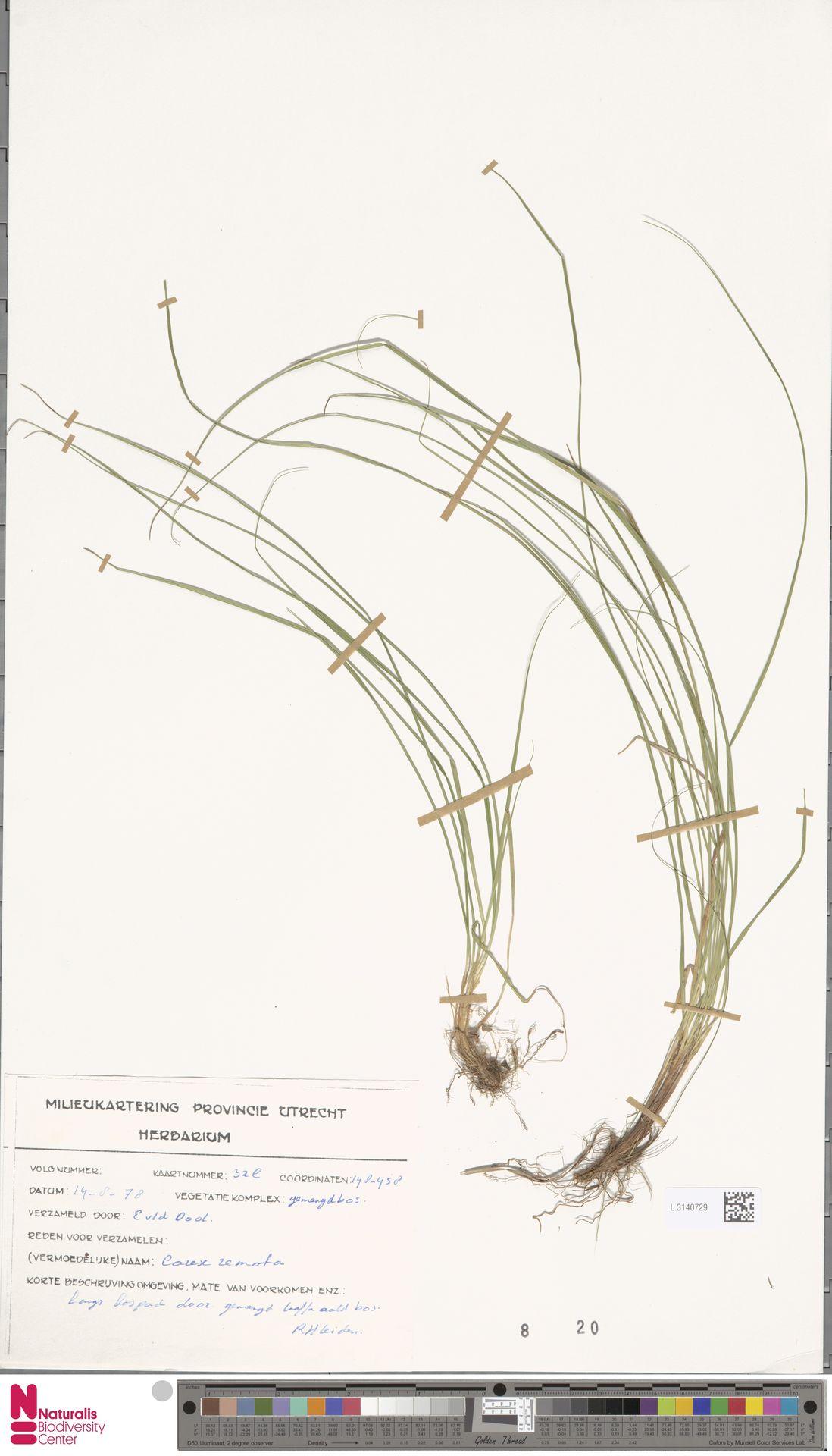 L.3140729   Carex remota L.