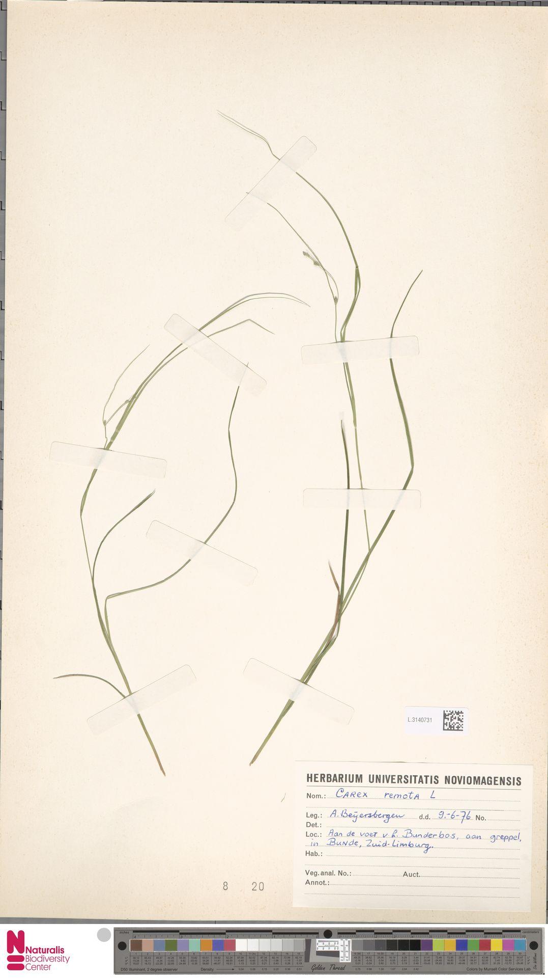 L.3140731 | Carex remota L.