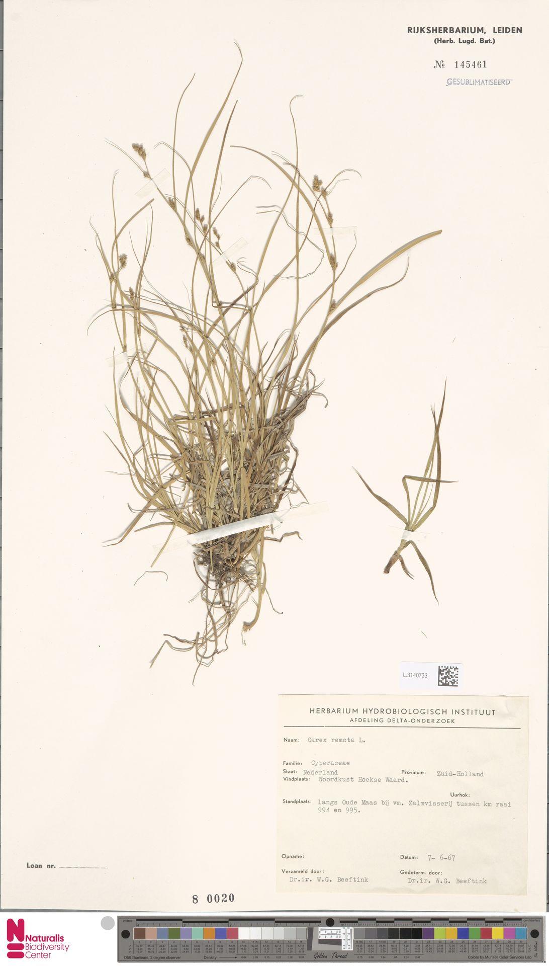 L.3140733 | Carex remota L.