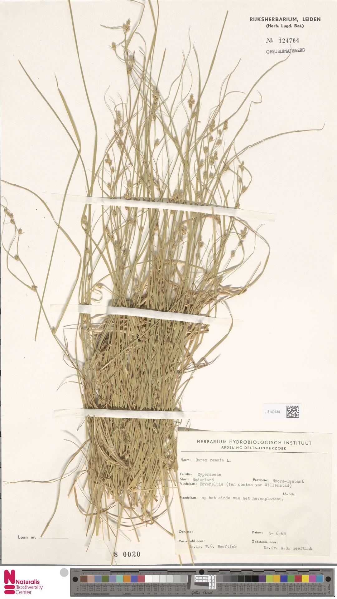 L.3140734 | Carex remota L.