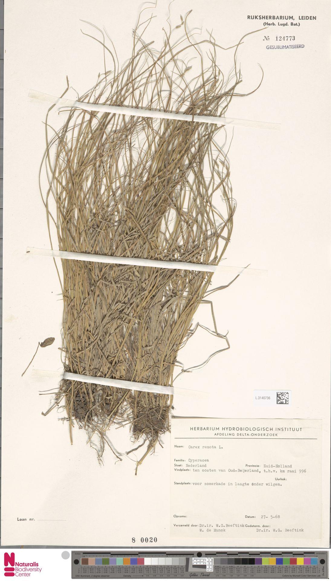 L.3140736 | Carex remota L.