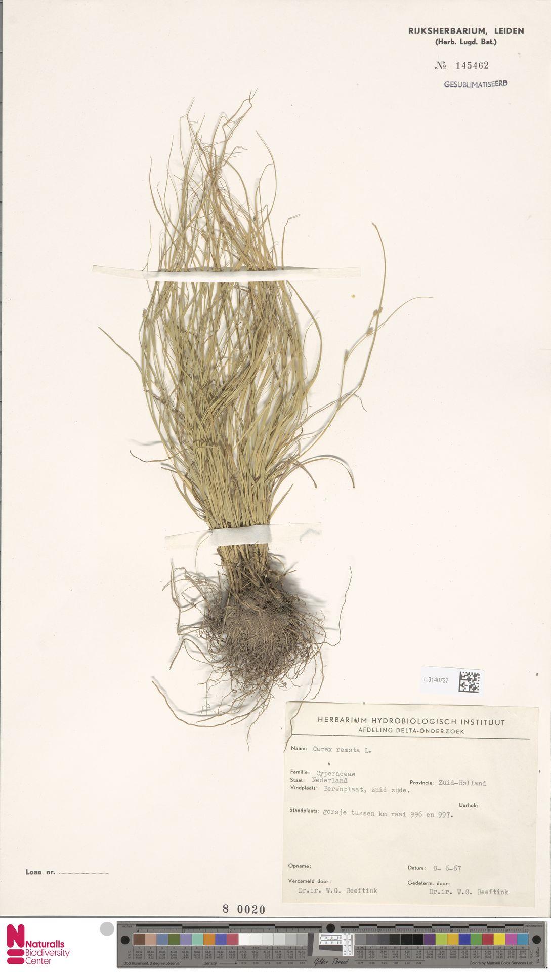 L.3140737 | Carex remota L.