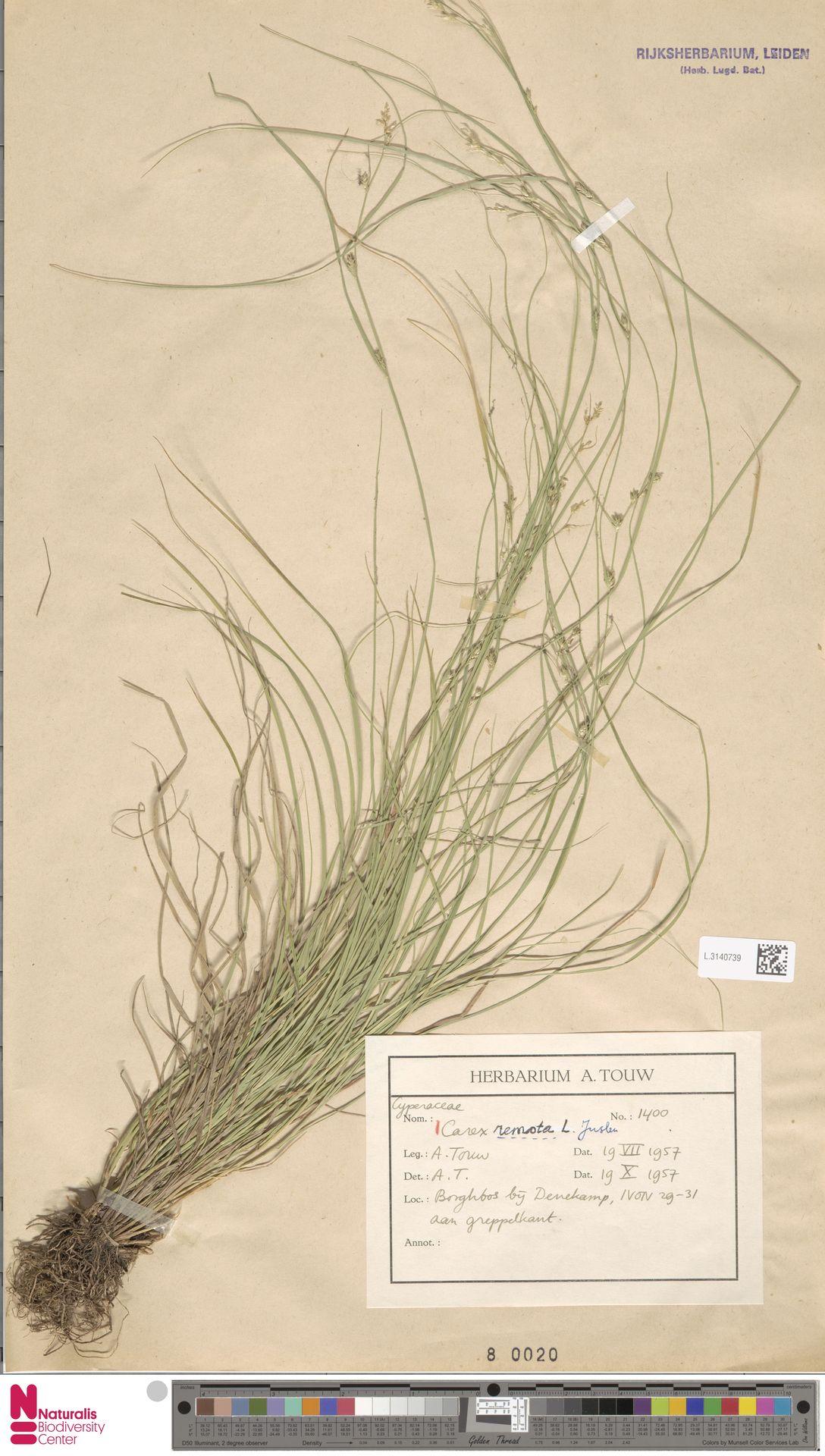 L.3140739   Carex remota L.