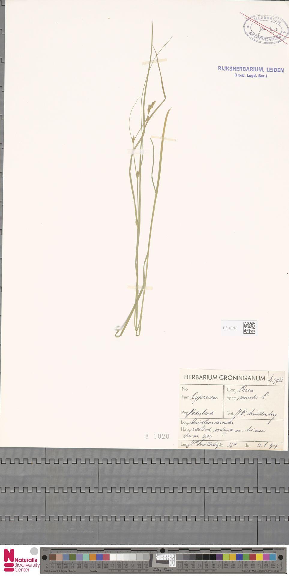 L.3140743 | Carex remota L.