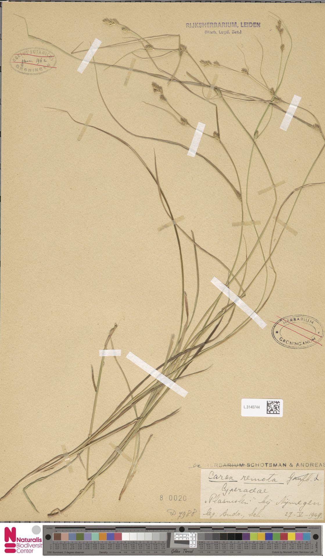 L.3140744 | Carex remota L.