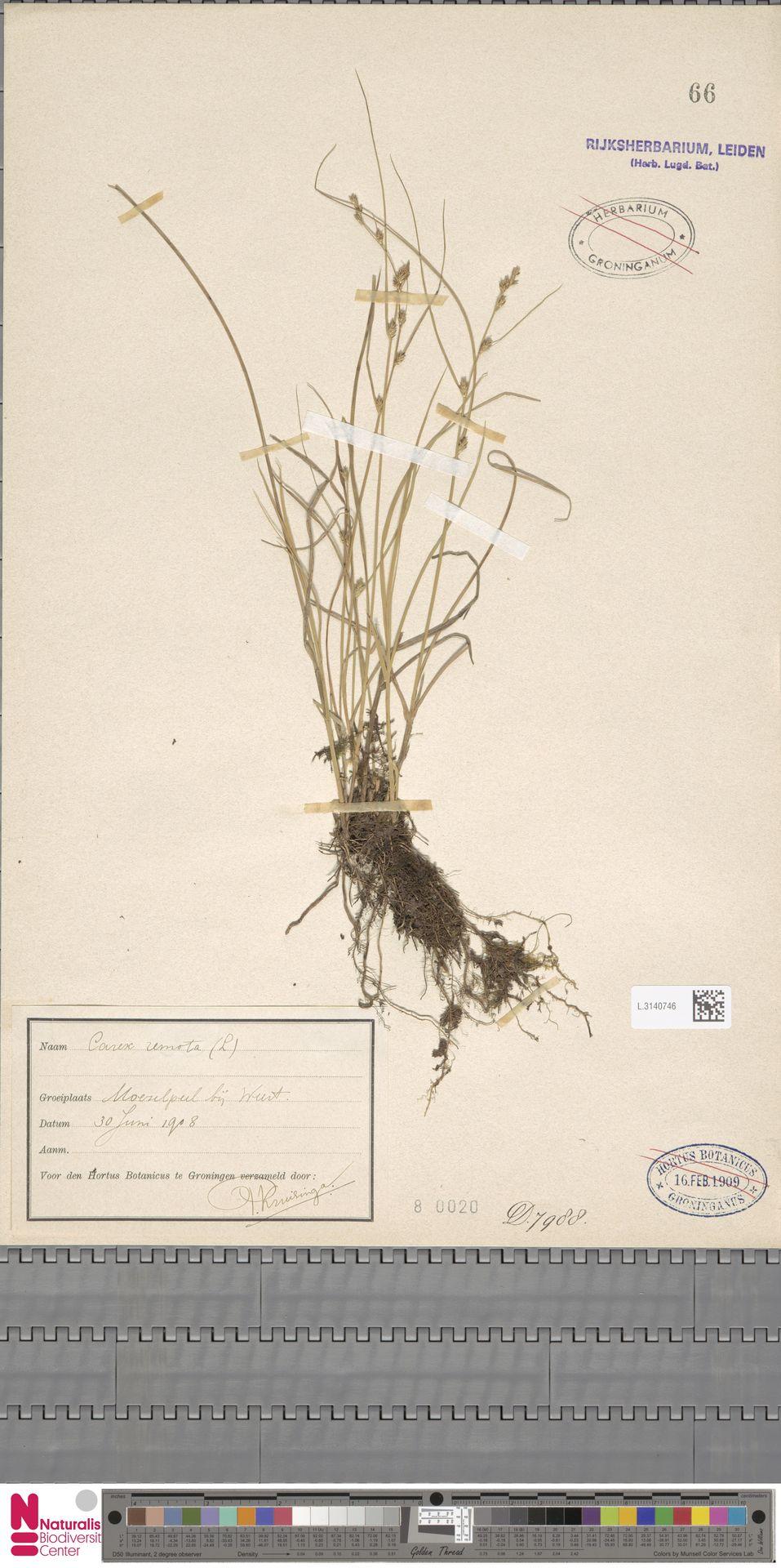 L.3140746 | Carex remota L.