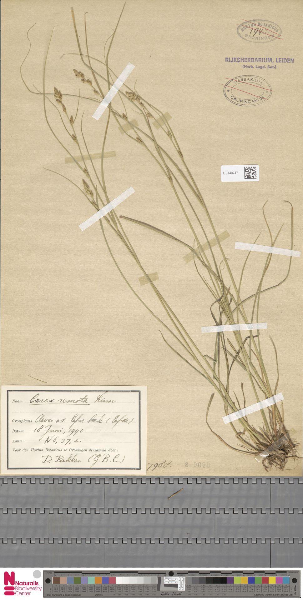 L.3140747 | Carex remota L.