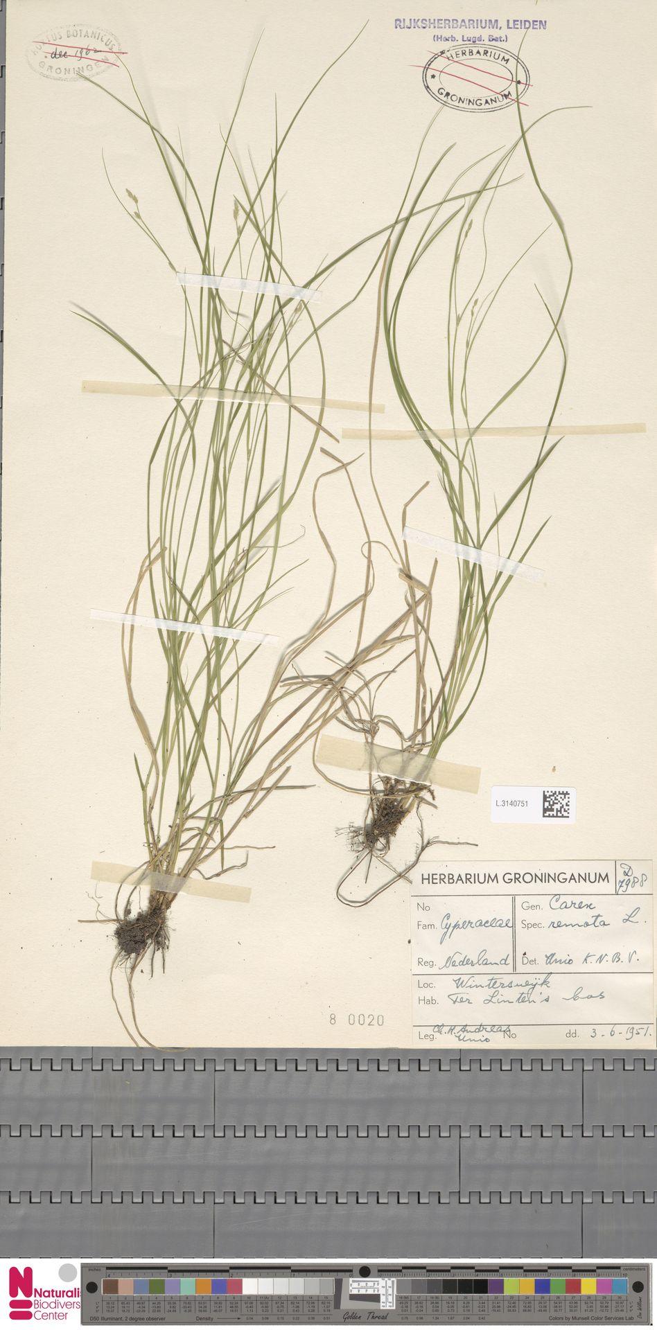 L.3140751 | Carex remota L.