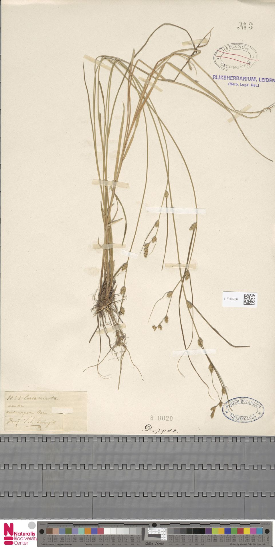 L.3140756 | Carex remota L.