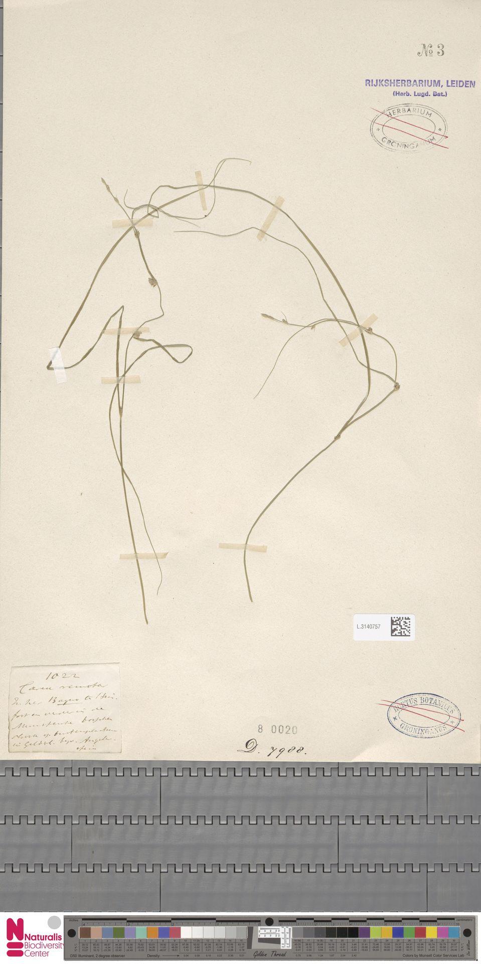 L.3140757 | Carex remota L.