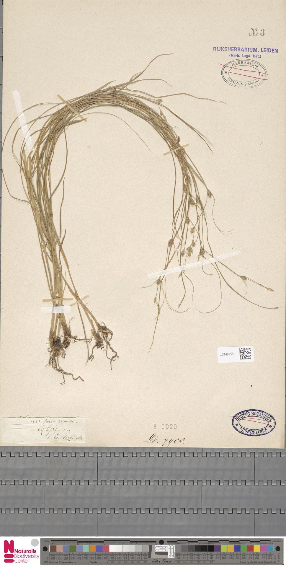L.3140758 | Carex remota L.