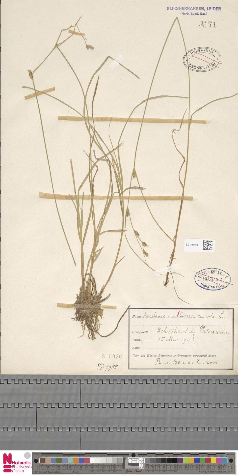 L.3140759 | Carex remota L.