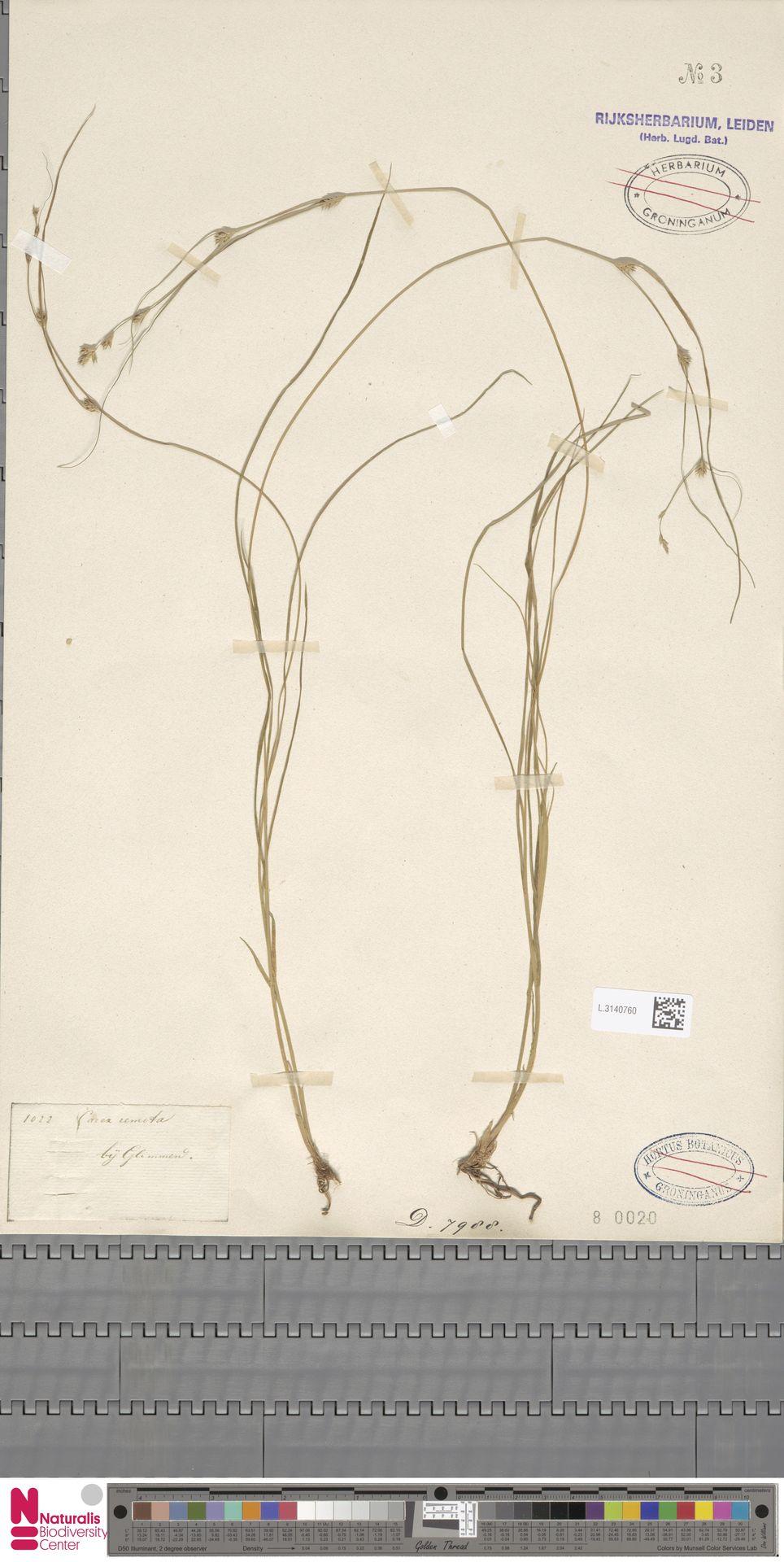 L.3140760 | Carex remota L.