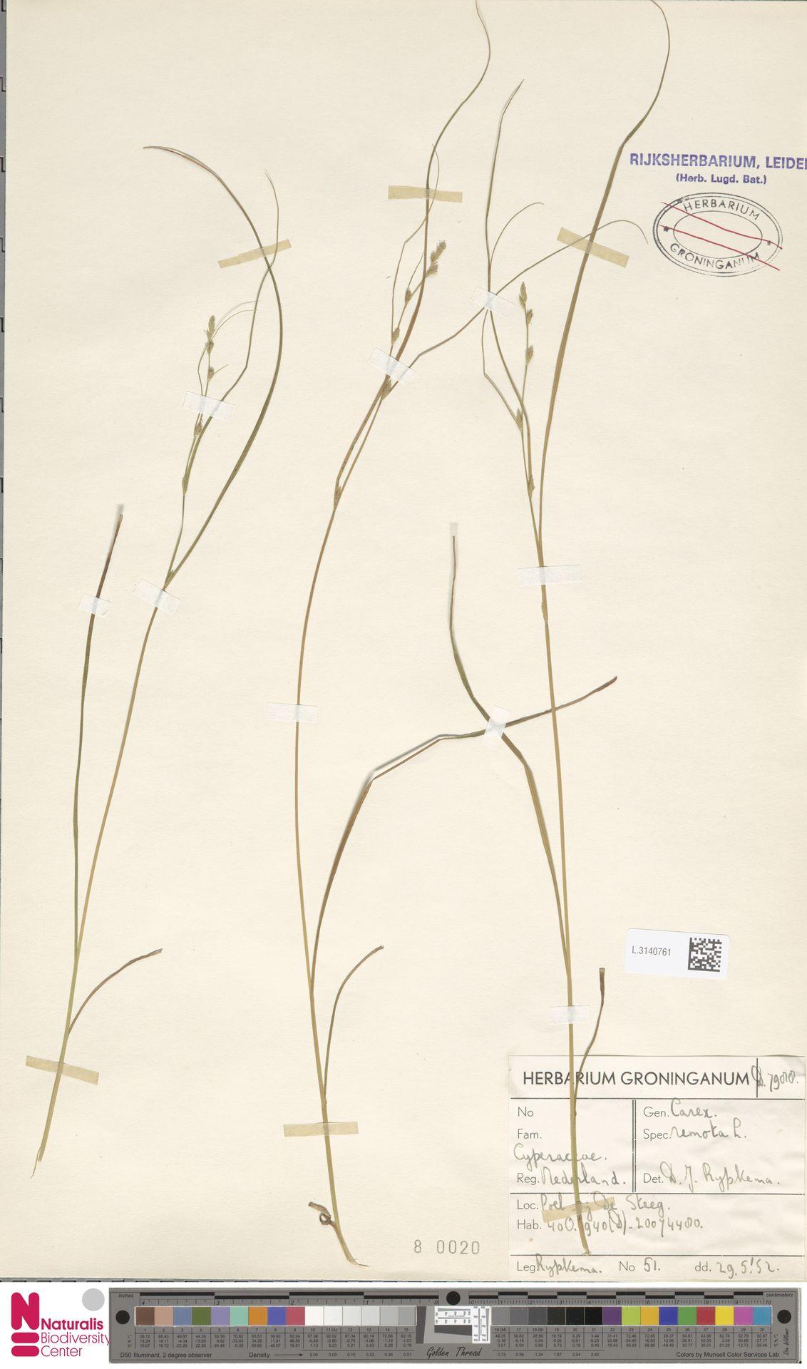 L.3140761 | Carex remota L.