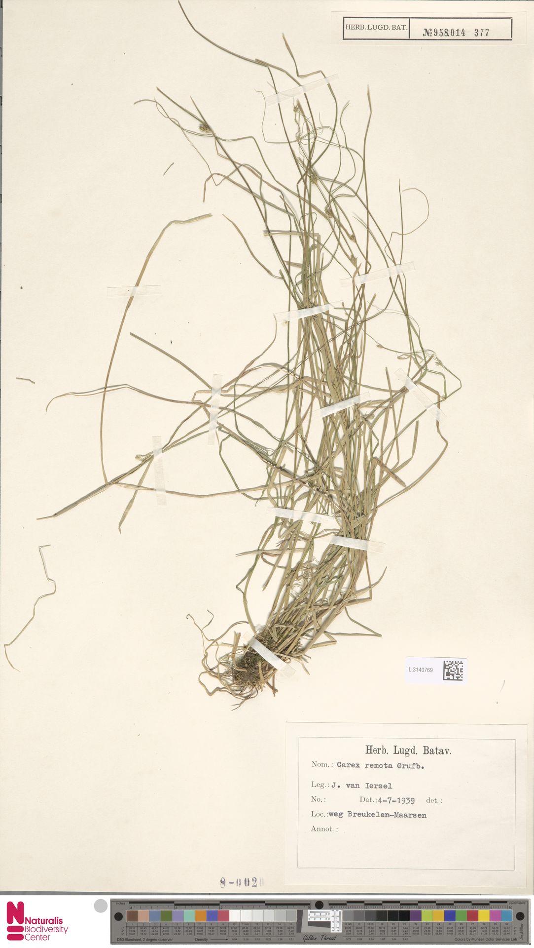 L.3140769 | Carex remota L.